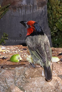 Black collared barbet (5905343869).jpg