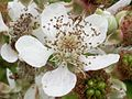 Blackberry flower (3211499237).jpg