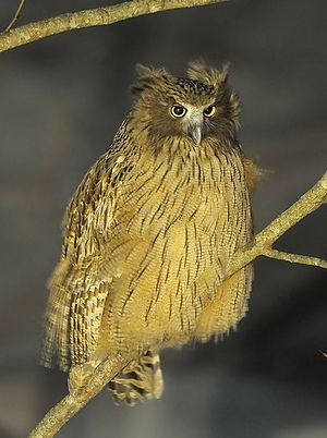 Shantar Islands National Park - Image: Blakiston`s fish owl 1