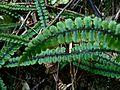 Blechnum fluviatile.jpg