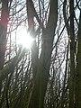 Blick durch die Bäume auf die Sonne - panoramio.jpg