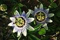Blodau'r Dioddefaint (Passiflora caerulea) Passion Flowers - geograph.org.uk - 530502.jpg