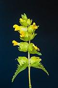 Bloemen van een Ratelaar (Rhinanthus) 13-06-2021. (d.j.b).jpg