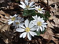 Bloodroot -- Spring ephemeral.JPG