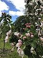 Blooming appletree may.jpg