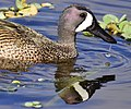 Blue-Winged Teal 56g.JPG
