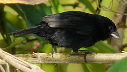 Blue-black Grassquit (male cropped).jpg