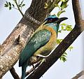 Blue-crowned Motmot (7047603109).jpg