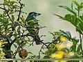 Blue-throated Barbet (Megalaima asiatica) (24740045297).jpg