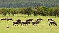 Blue Wildebeest (3075456053).jpg