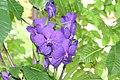 Blue orchid a2 15APR06 Powell Gardens MO USA.JPG