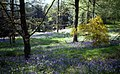 Bluebell woods at Chatsworth - geograph.org.uk - 474647.jpg
