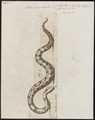 Boa constrictor - 1700-1880 - Print - Iconographia Zoologica - Special Collections University of Amsterdam - UBA01 IZ11900055.tif