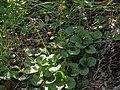 Bog wintergreen, Pyrola asarifolia subsp. asarifolia (41545304325).jpg