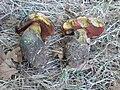 Boletus luridus - Czech Republic.JPG