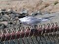 Bolsa Chica - Vögel 2.jpg