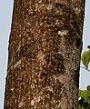 Bombax ceiba (Semal) trunk Jayanti, Duars, West Bengal W Picture 064.jpg