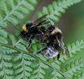 Bombus (Psithyrus) sylvestris - Forest Cuckoo Bumblebee - Flickr - S. Rae.jpg