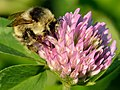 Bombus veteranus - Trifolium pratense - Keila.jpg