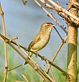 Booted warbler .jpg