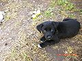 Borador puppy 6 weeks old.jpg