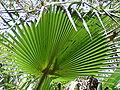 Borassus aethiopum 0037.jpg
