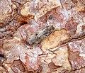 Borkhausenia fuscescens (36814103291).jpg