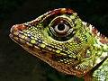Borneo Forest Dragon (Gonocephalus bornensis) (8411470994).jpg