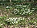 Bosanemonen (Anemone nemorosa) - Dr. Jac. P. Thijssepark - Amstelveen (5558260567).jpg