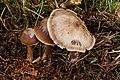 Botercollybia zwam. (Rhodocollybia butyracea). Locatie, Hortus (Haren, Groningen) 02.jpg