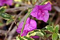 Bougainvillea blueberry ice 2zz.jpg