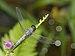 Brachydiplax sobrina-Kadavoor-2016-06-27-003.jpg