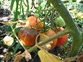 Braunfaeule frucht.jpg