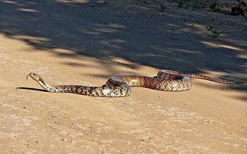 File:Brazilian False Water Cobra (Hydrodynastes gigas) on the road ... (31416011880).jpg