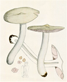 Bresadola - Entoloma clypeatum.png