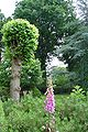 Breukenboom te Yde.jpg