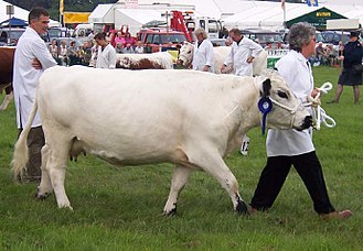 British White cattle - A British White cow at an agricultural show