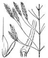 Bromus arvensis illustration (01).png