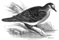 Bronze-winged pigeon.png