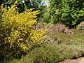 Broom and heather in Isabella plantation, Richmond Park - geograph.org.uk - 1315105.jpg