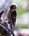 Brown Capped Pygmy Woodpecker (6943130370).jpg
