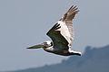 Brown Pelican (Pelecanus occidentalis) in flight.jpg