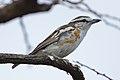 Brubru, Nilaus afer, at Marakele National Park, Limpopo, South Africa (46803675001).jpg