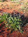 Brunonia australis plant.jpg