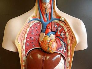 Körper frau wo das herz liegt im Das Herz