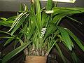 Bryobium hyacinthoides2.jpg