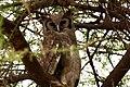 Bubo lacteus -Tarangire National Park, Tanzania-8 (2).jpg