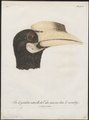 Buceros coronatus - kop - 1801 - Print - Iconographia Zoologica - Special Collections University of Amsterdam - UBA01 IZ19300196.tif