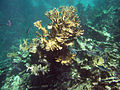 Buck Island Reef National Monument firecoral jackfish.jpg