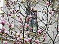 Bucuresti, Romania. Magnolii inflorite intr-o curte din Piata Amzei. (Detaliu).jpg